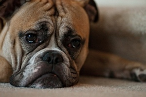 Image of a sad dog. Image courtesy of Flickr user pinoyed under Creative Commons 2.0. https://www.flickr.com/photos/pinoyed/5009440499